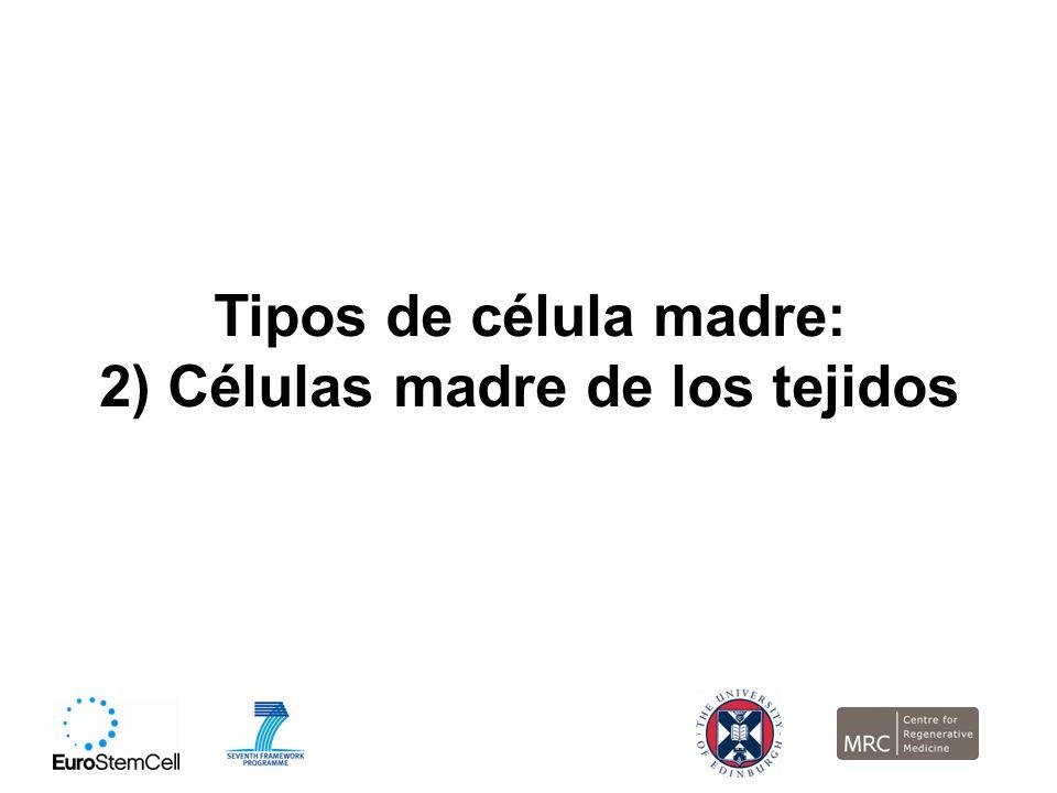 2) Células madre de los tejidos