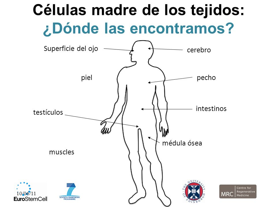 Células madre de los tejidos: ¿Dónde las encontramos