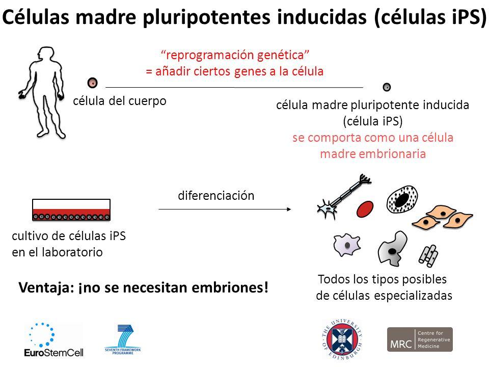 Células madre pluripotentes inducidas (células iPS)