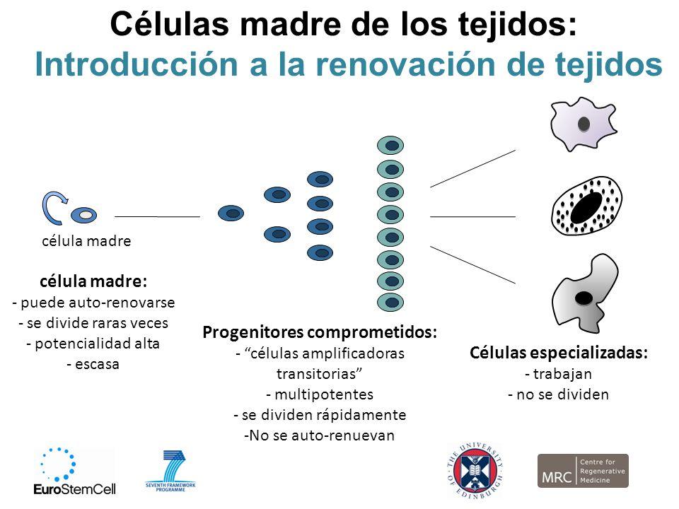 Células madre de los tejidos: Introducción a la renovación de tejidos