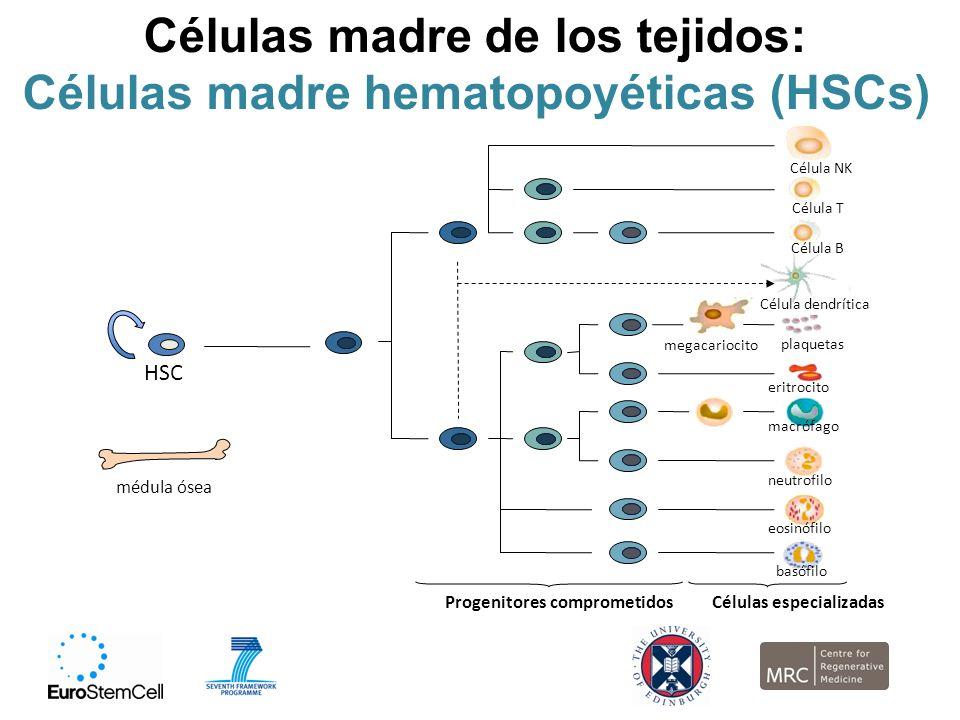 Células madre de los tejidos: Células madre hematopoyéticas (HSCs)