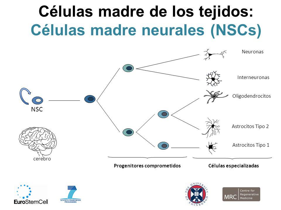 Células madre de los tejidos: Células madre neurales (NSCs)