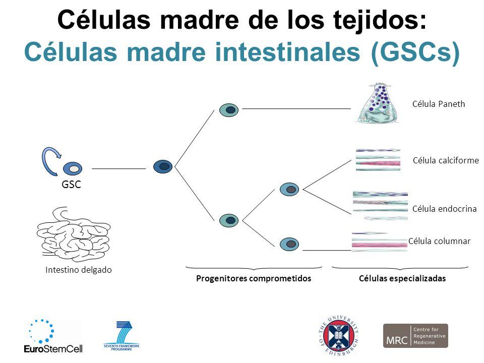 Células madre de los tejidos: Células madre intestinales (GSCs)