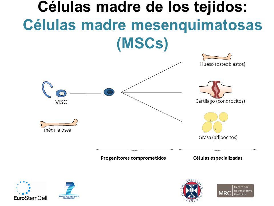 Células madre de los tejidos: Células madre mesenquimatosas