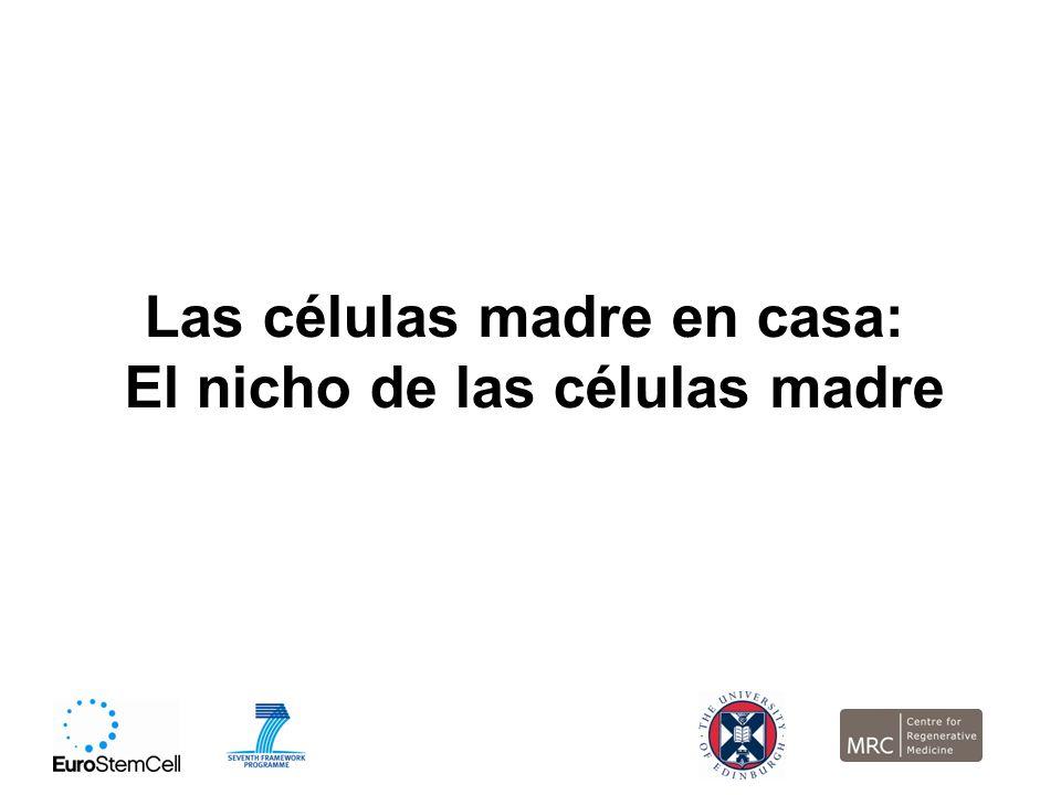 Las células madre en casa: El nicho de las células madre