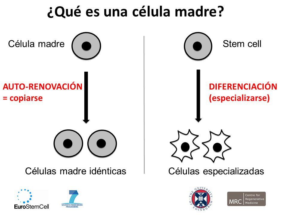 ¿Qué es una célula madre