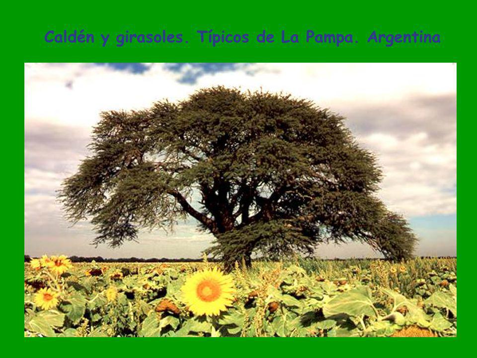 Caldén y girasoles. Típicos de La Pampa. Argentina
