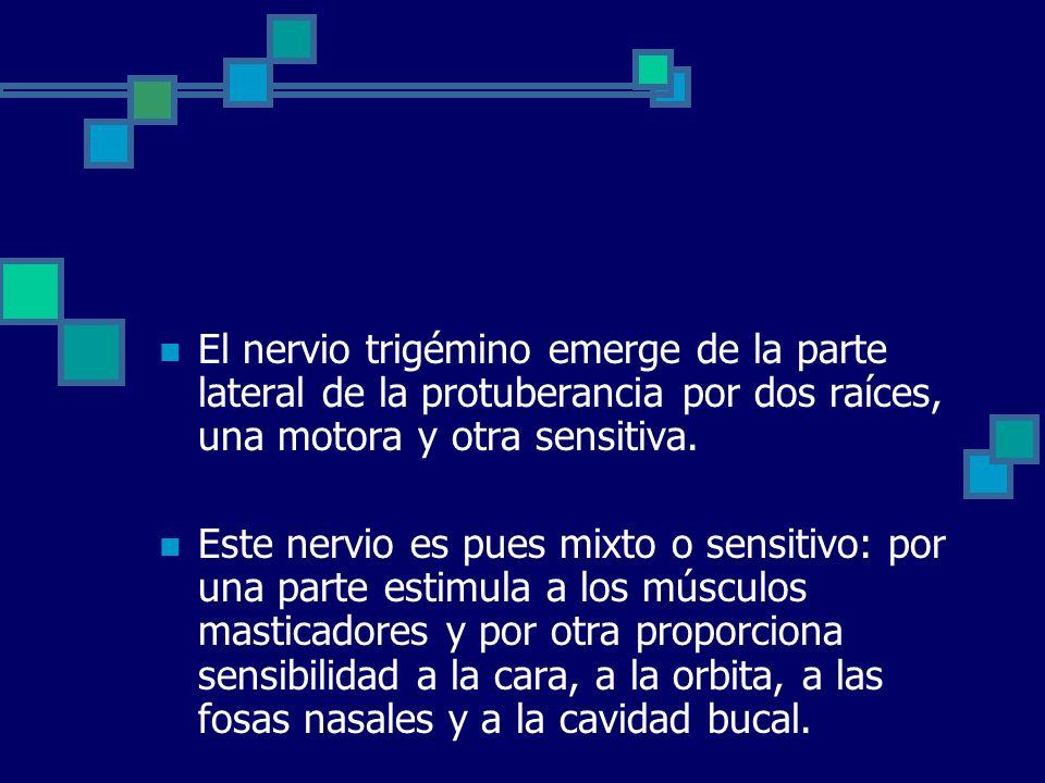 El nervio trigémino emerge de la parte lateral de la protuberancia por dos raíces, una motora y otra sensitiva.