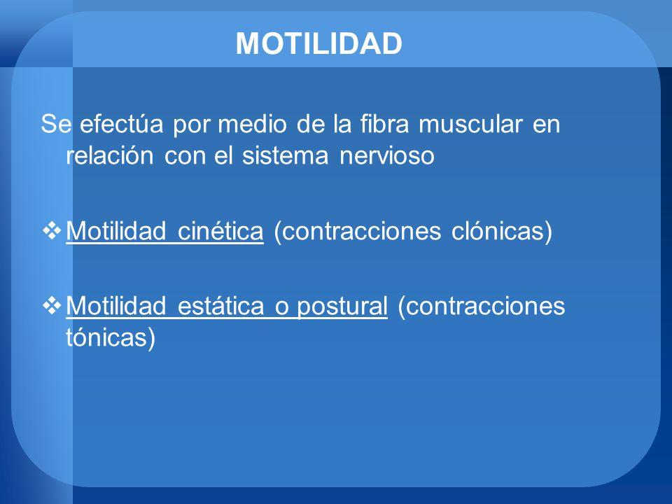 MOTILIDAD Se efectúa por medio de la fibra muscular en relación con el sistema nervioso. Motilidad cinética (contracciones clónicas)