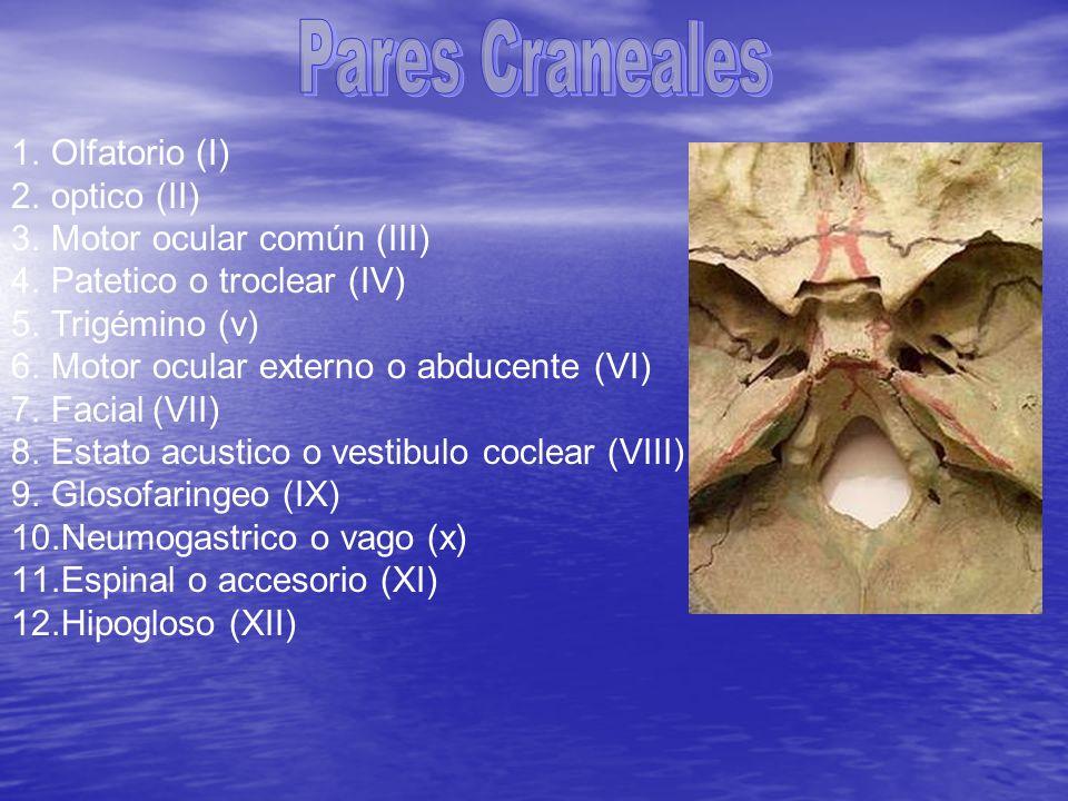 Pares Craneales Olfatorio (I) optico (II) Motor ocular común (III)