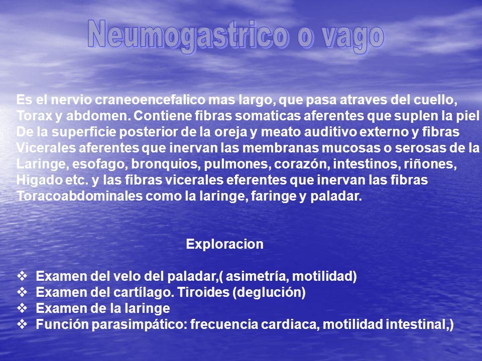 Neumogastrico o vago Es el nervio craneoencefalico mas largo, que pasa atraves del cuello,