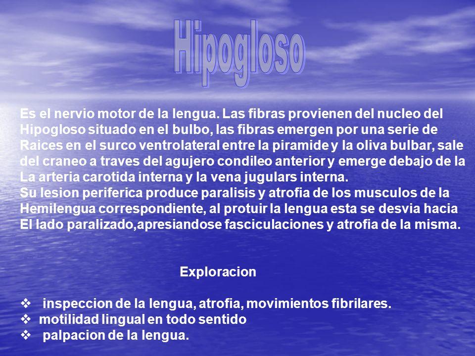 Hipogloso Es el nervio motor de la lengua. Las fibras provienen del nucleo del. Hipogloso situado en el bulbo, las fibras emergen por una serie de.