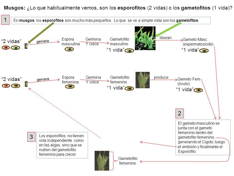 Musgos: ¿Lo que habitualmente vemos, son los esporofitos (2 vidas) o los gametofitos (1 vida)