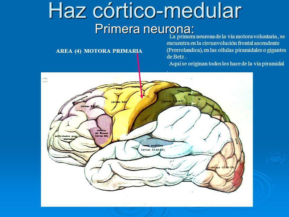Haz córtico-medular Primera neurona: