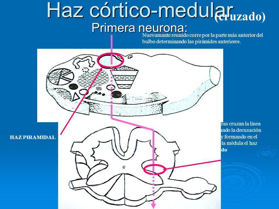 Haz córtico-medular (cruzado) Primera neurona: