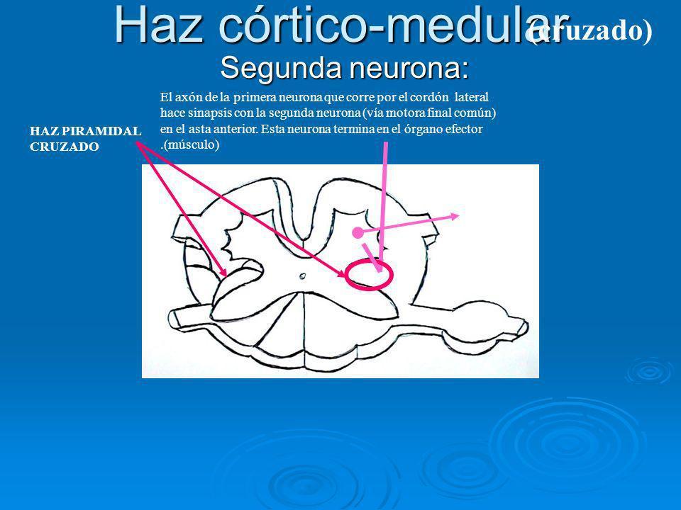 Haz córtico-medular (cruzado) Segunda neurona:
