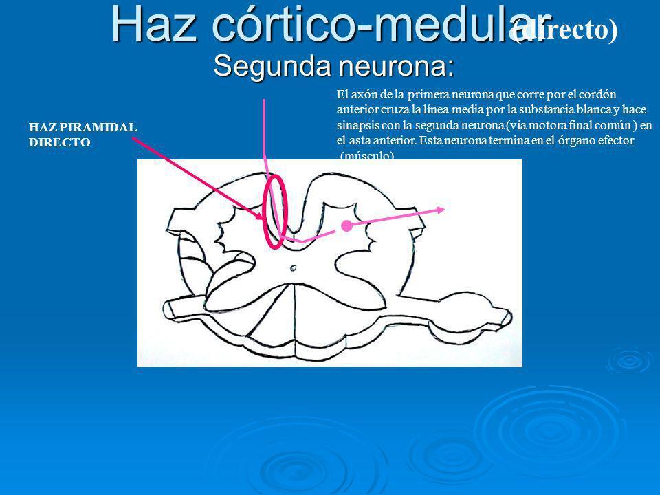 Haz córtico-medular (directo) Segunda neurona: