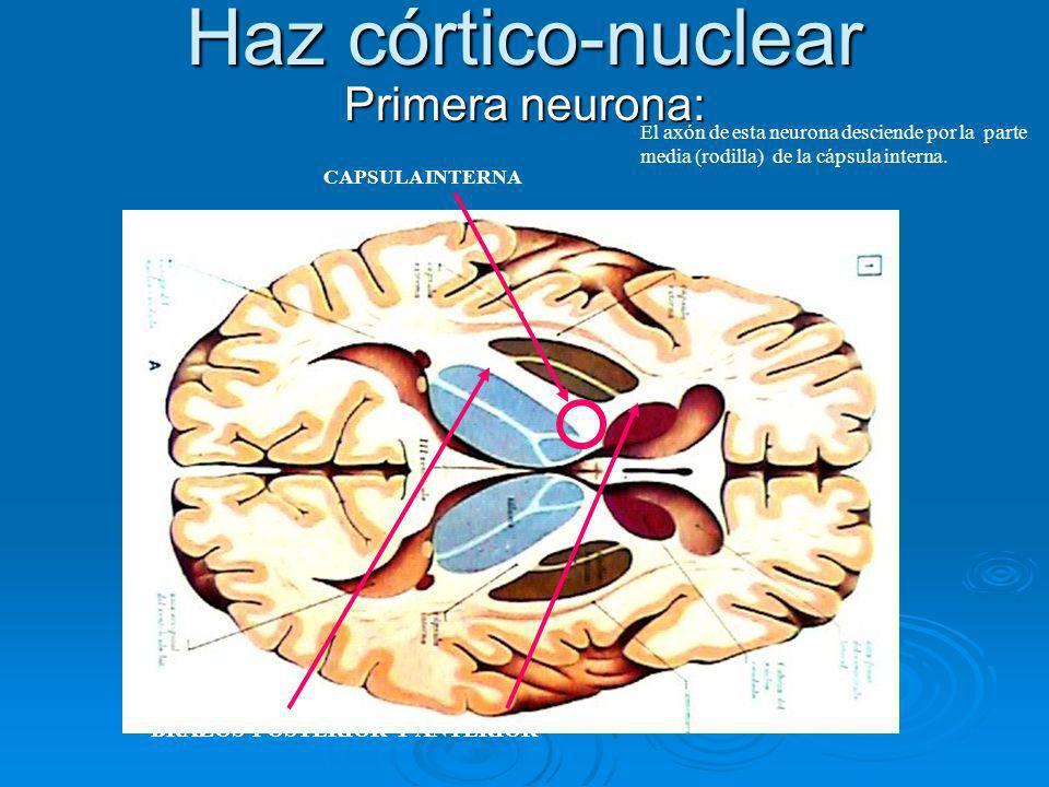 Haz córtico-nuclear Primera neurona: BRAZOS POSTERIOR Y ANTERIOR