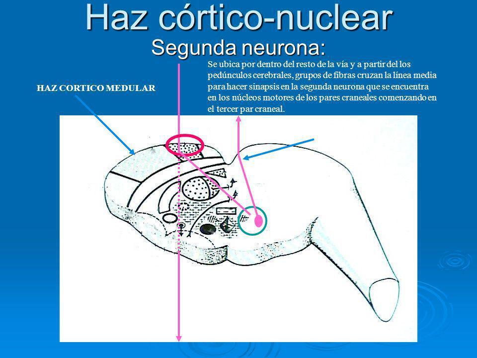 Haz córtico-nuclear Segunda neurona: MOTOR OCULAR COMUN