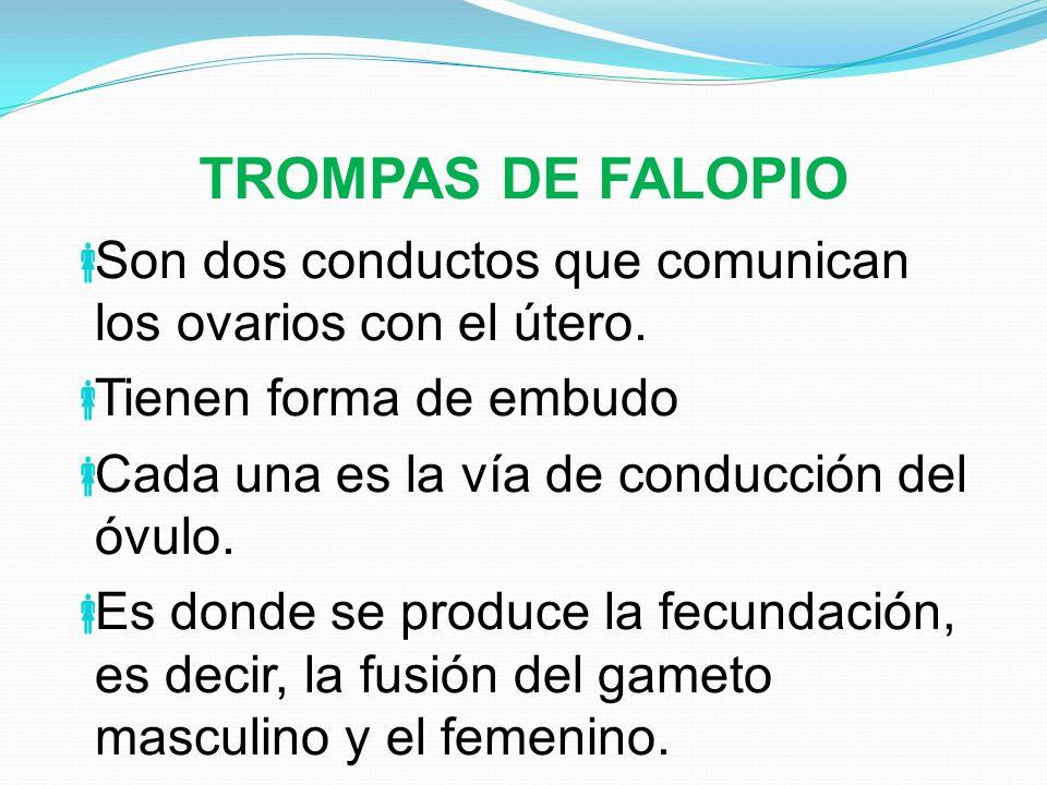 TROMPAS DE FALOPIO Son dos conductos que comunican los ovarios con el útero. Tienen forma de embudo.