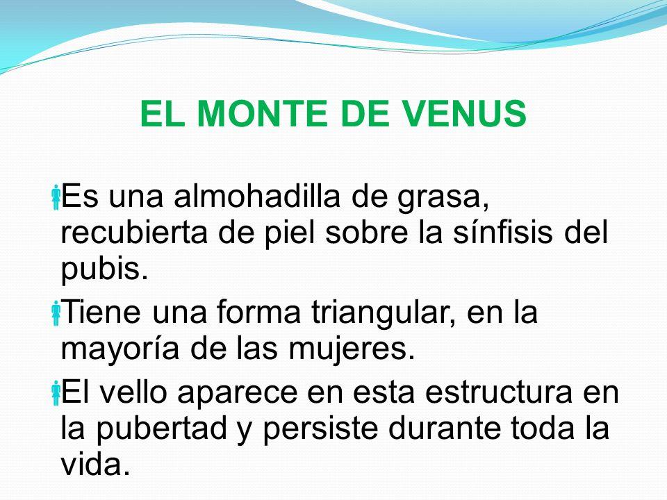 EL MONTE DE VENUS Es una almohadilla de grasa, recubierta de piel sobre la sínfisis del pubis.