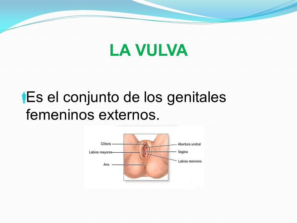 LA VULVA Es el conjunto de los genitales femeninos externos.