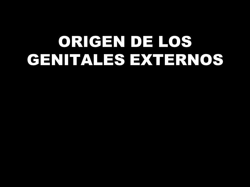 ORIGEN DE LOS GENITALES EXTERNOS