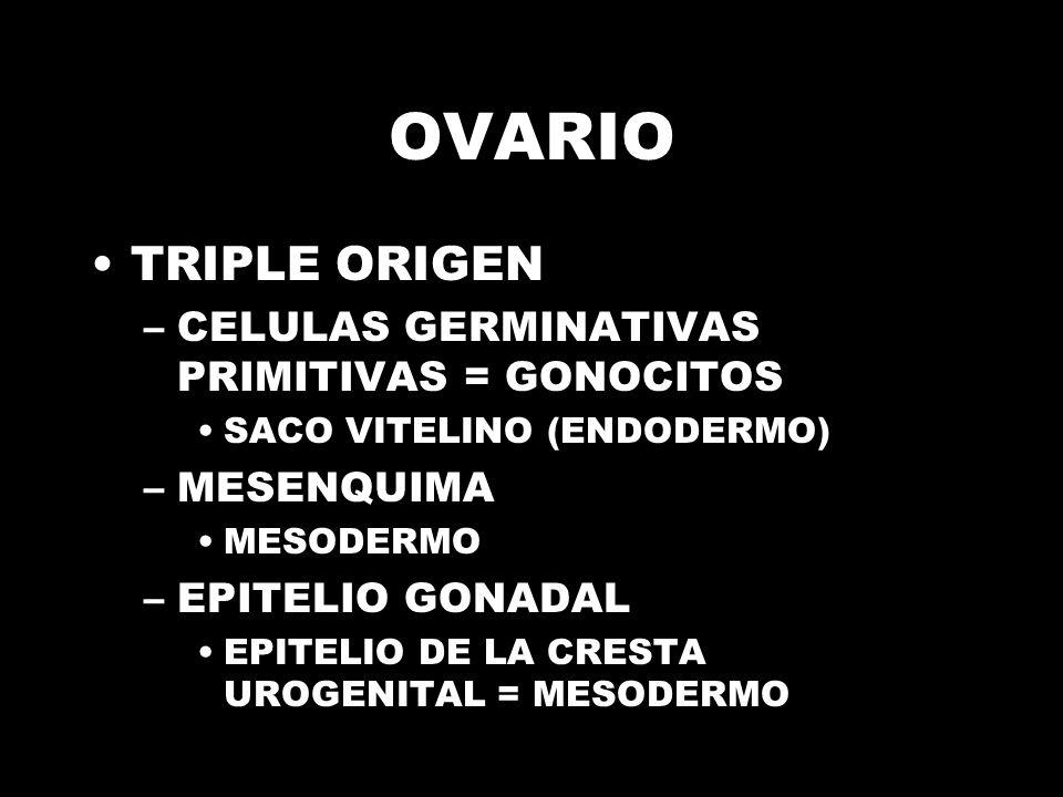 OVARIO TRIPLE ORIGEN CELULAS GERMINATIVAS PRIMITIVAS = GONOCITOS
