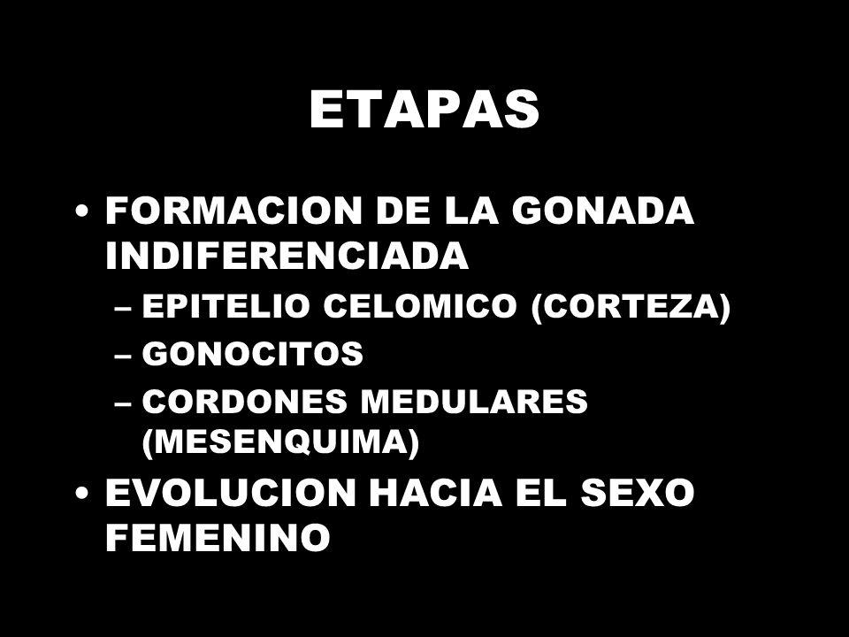 ETAPAS FORMACION DE LA GONADA INDIFERENCIADA