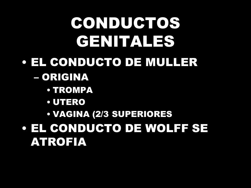 CONDUCTOS GENITALES EL CONDUCTO DE MULLER