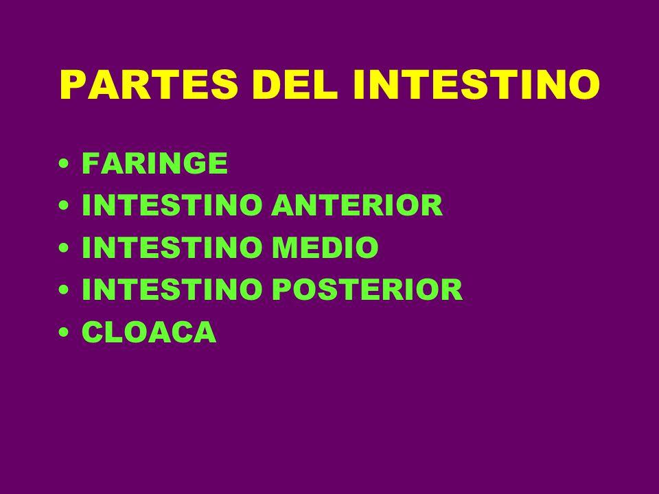 PARTES DEL INTESTINO FARINGE INTESTINO ANTERIOR INTESTINO MEDIO