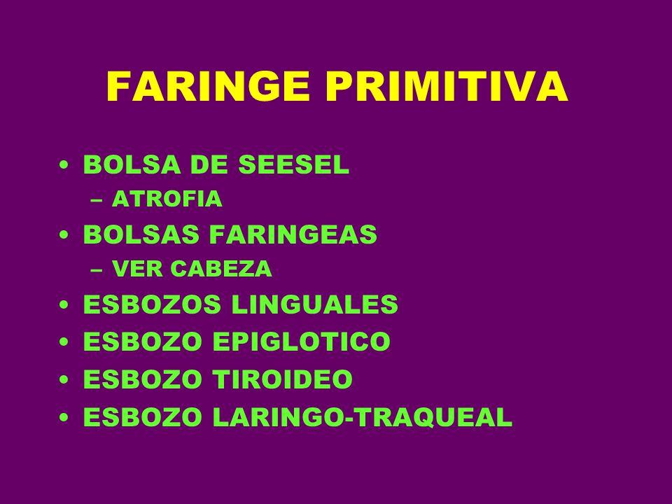 FARINGE PRIMITIVA BOLSA DE SEESEL BOLSAS FARINGEAS ESBOZOS LINGUALES