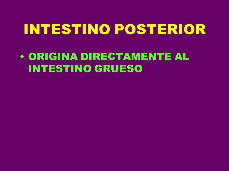 INTESTINO POSTERIOR ORIGINA DIRECTAMENTE AL INTESTINO GRUESO