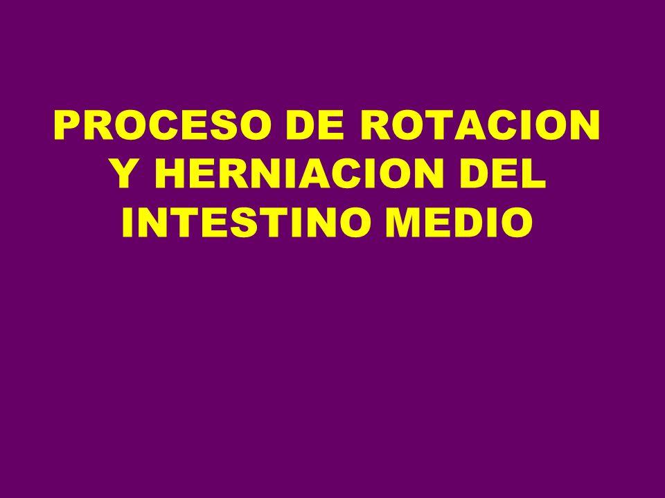 PROCESO DE ROTACION Y HERNIACION DEL INTESTINO MEDIO