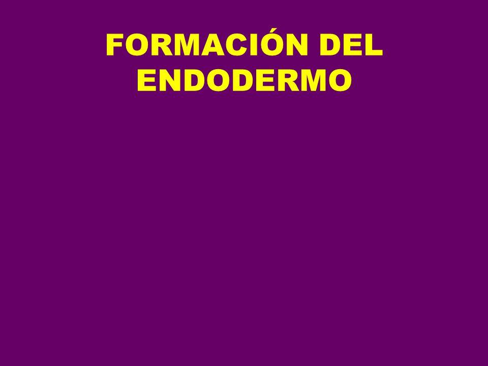 FORMACIÓN DEL ENDODERMO