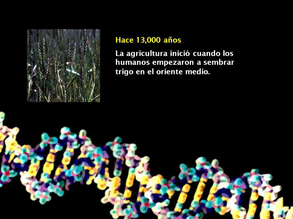 Hace 13,000 añosLa agricultura inició cuando los humanos empezaron a sembrar trigo en el oriente medio.