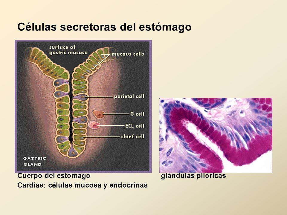 Células secretoras del estómago