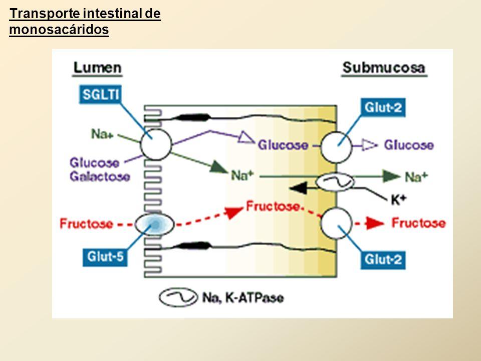 Transporte intestinal de monosacáridos