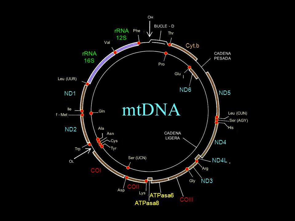 mtDNA rRNA 12S Cyt.b 16S ND6 ND1 ND5 ND2 ND4 ND4L COI ND3 COII ATPasa6