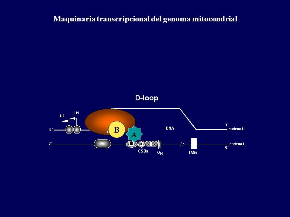 Maquinaria transcripcional del genoma mitocondrial