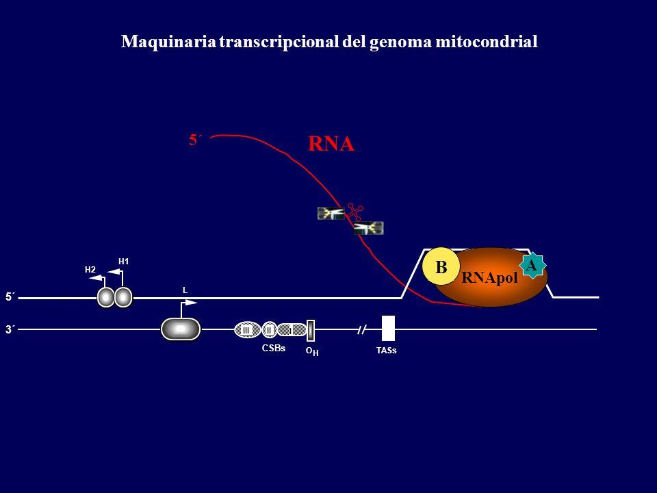 RNA Maquinaria transcripcional del genoma mitocondrial B 5´ A RNApol