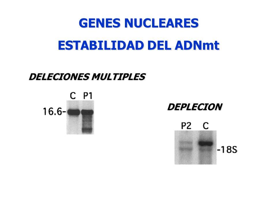 GENES NUCLEARES ESTABILIDAD DEL ADNmt