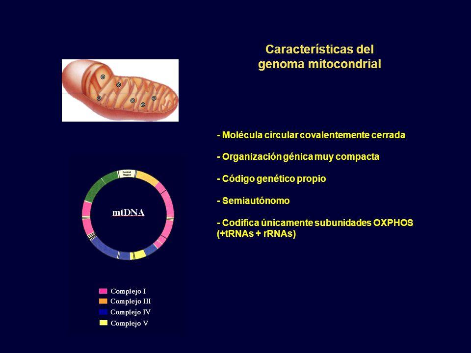 Características del genoma mitocondrial