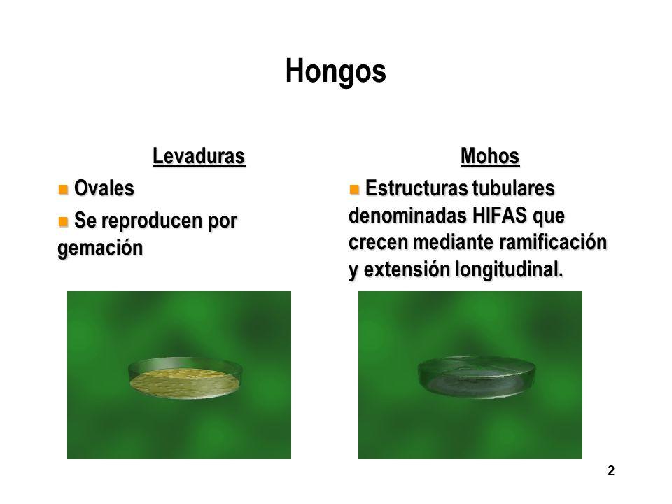 Hongos Levaduras Ovales Se reproducen por gemación Mohos