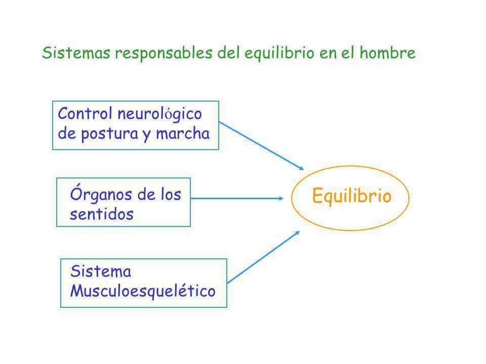 Equilibrio Sistemas responsables del equilibrio en el hombre