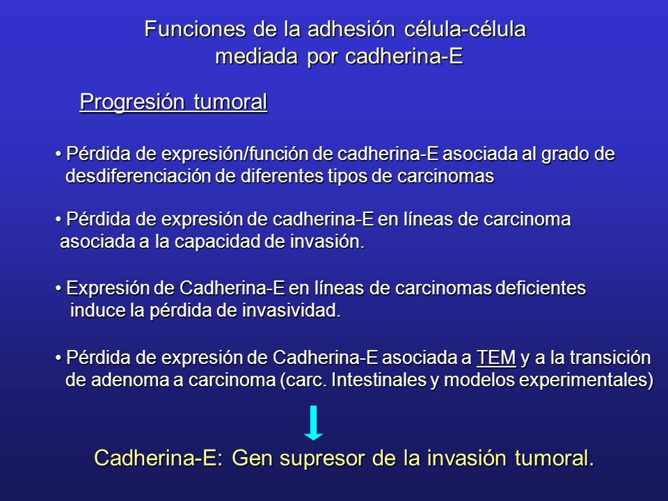 Funciones de la adhesión célula-célula mediada por cadherina-E