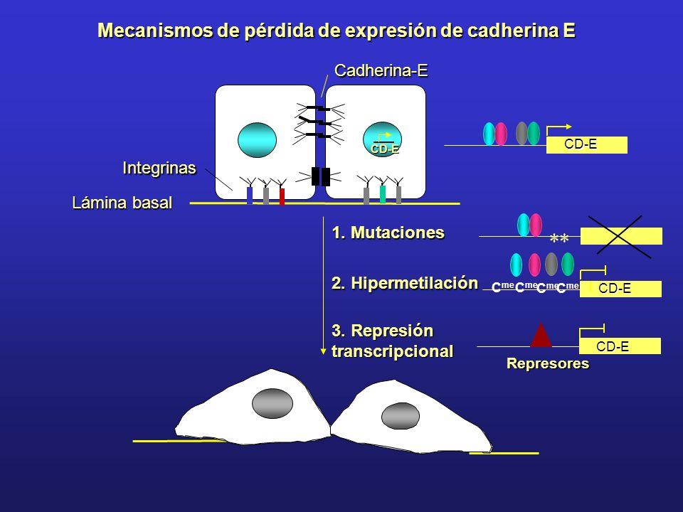 Mecanismos de pérdida de expresión de cadherina E