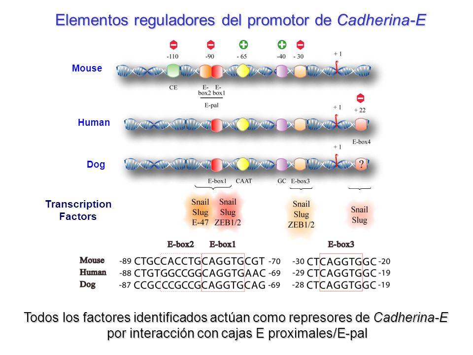Elementos reguladores del promotor de Cadherina-E