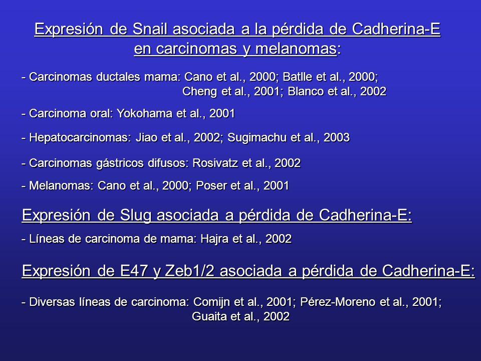 Expresión de Snail asociada a la pérdida de Cadherina-E