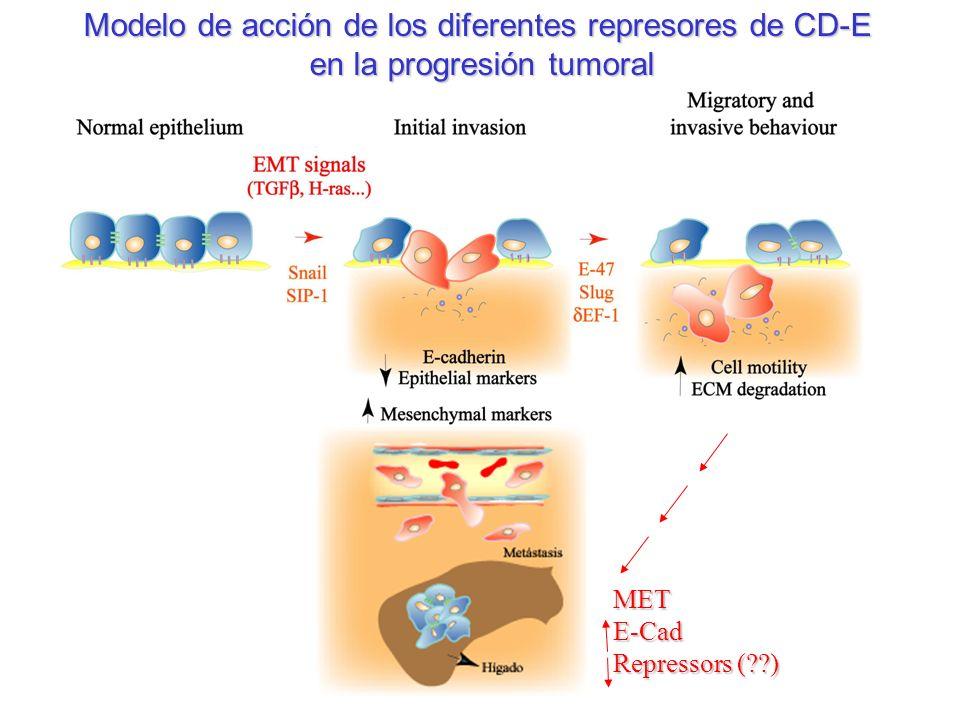Modelo de acción de los diferentes represores de CD-E